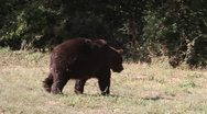 Stock Video Footage of Brown Bear leaving, Ursus arctos
