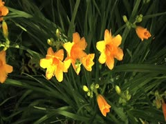 Yellow Lilies Push Stock Footage