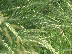 Crested Wheat Grass - stock footage