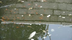 Fish in dirty water,pollute environment,reflection. Stock Footage