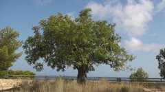 One Carob tree Stock Footage