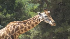 South African Giraffe Stock Footage