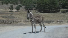 Zebra on the road Stock Footage