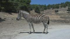 Walking Zebra Stock Footage