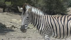 Standing Zebra Stock Footage