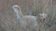 Stock Video Footage of Dog alone in the prairie