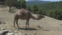 Walking Camel Stock Footage