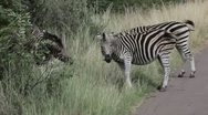 Zebras Standing on the Road Stock Footage