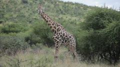 Giraffe Standing Stock Footage