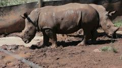Baby Rhino Zoo Stock Footage