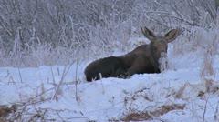 Moose Resting in Alaskan Snow Reverse Zoom Stock Footage