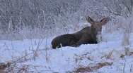 Stock Video Footage of Moose Resting in Alaskan Snow Reverse Zoom
