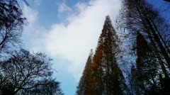 Flowing clouds,Trees crown sway in wind,metasequoia,Jungle,forest. Stock Footage