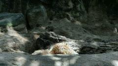 Meerkats in nature Stock Footage