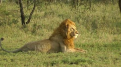 Lion waking up Stock Footage
