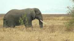 Elephant walking - stock footage