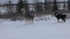 Attaching huskies 2 Stock Footage