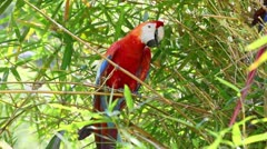 Ara macaw parrot in Ecuadorian Amazonia, shot in the wild - stock footage