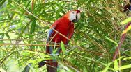 Stock Video Footage of Ara macaw parrot in Ecuadorian Amazonia, shot in the wild