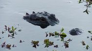 Stock Video Footage of Everglades Alligator