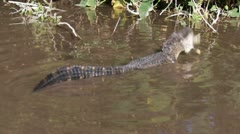 Alligator Eating A Fish Stock Footage