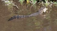Stock Video Footage of Alligator Eating A Fish