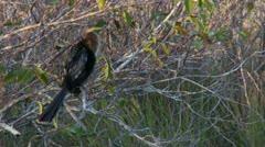 Everglades Anhinga - stock footage