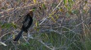 Stock Video Footage of Everglades Anhinga