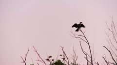 Bird At Sunrise Fanning Its Wings - stock footage