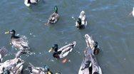 Ducks 64 Stock Footage
