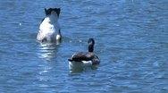 Ducks 67 Stock Footage