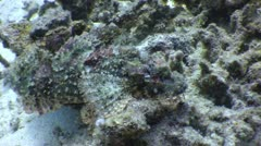 Bearded Scorpion Fish Stock Footage