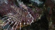 Lionfish Venomous Poison! Stock Footage