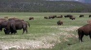 American Bison in the Wild Stock Footage