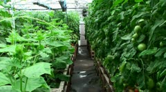 Tomatoes in greenhouse - stock footage