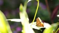 Beautiful butterfly sunning Stock Footage