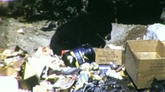 Bear Scavenges in Trash Garbage National Park 1960s Vintage Film Home Movie 1836 Stock Footage