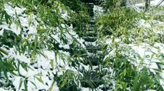 Snow covered Bamboo,swaying in wind,Lane,Trails,Road. Stock Footage