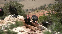 California condors landing and feeding at carcass Stock Footage