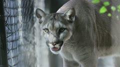 Puma Stock Footage