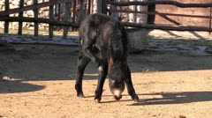 Baby donkey on the farm - stock footage