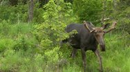 Bull Moose walks towards camera Stock Footage