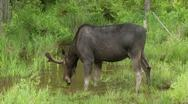 Stock Video Footage of Bull Moose face forward 6a