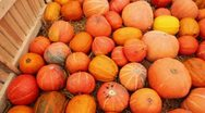 Many pumpkin scattered on grass in area enclosed by fence Stock Footage