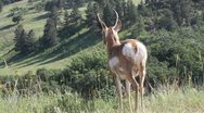 Stock Video Footage of Pronghorn surveys valley & leaves