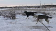 Huskies getting ready 2 Stock Footage