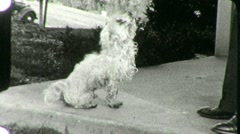 POODLE DOG BEGS for Food Pet 1930s Vintage Old Film Retro 8mm Home Movie 1841 - stock footage