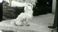 POODLE DOG BEGS for Food Pet 1930s Vintage Old Film Retro 8mm Home Movie 1841 Stock Footage