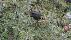 Hungry blackbird, Turdus merula Stock Footage