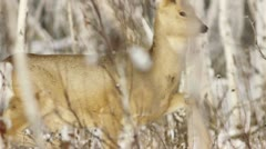 Stock footage roe in winter forest Stock Footage